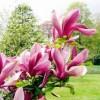 Саженец магнолии розовая Восточная ночь: фото и описание