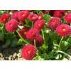 маргаритка вечная красавица красная арт. 5505
