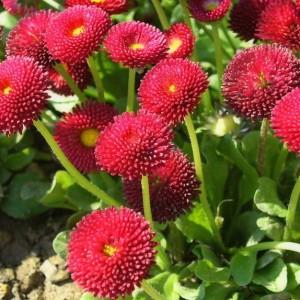 Маргаритка Вечная красавица красная Арт. 5505   Семена