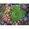 Саженец Молодило (Каменная роза) : фото и описание