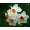 Луковица нарцисса гераниум: фото и описание