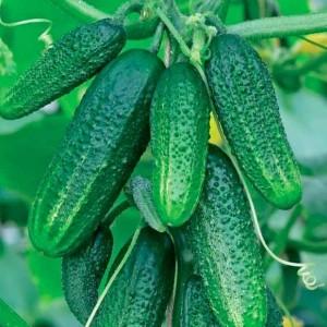Огурец Конни Арт. 5588 | Семена