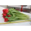 Срезка тюльпана Парад 26004: фото и описание