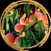Саженец персика Сказка: фото и описание