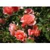 Саженец розы плетистой Alibaba (Алибаба): фото и описание