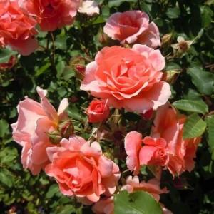 Саженец розы плетистой Alibaba (Алибаба)