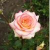 Саженец чайно-гибридной розы Амазонка: фото и описание