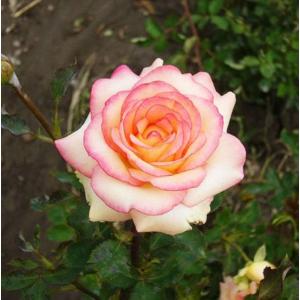 Саженец Розы Амазонка