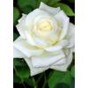 Саженец Розы Белый Медведь: фото и описание