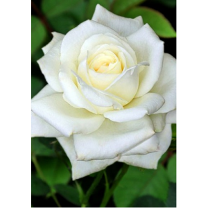 Саженец Розы Белый Медведь
