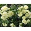 Саженец розы Эльф: фото и описание