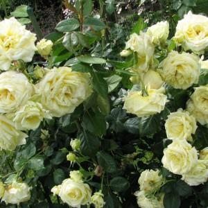 Саженец розы Эльф