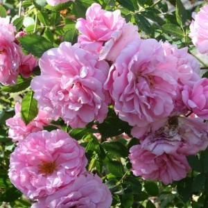 Саженец розы канадской John Davis (Джон Девис)