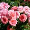Саженец розы флорибунды Кимоно: фото и описание