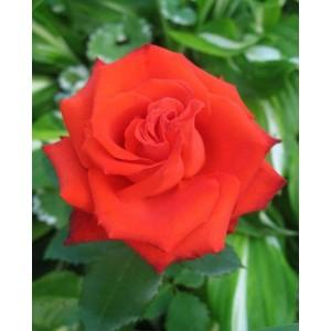 Саженец розы Mercedes (Мерседес)