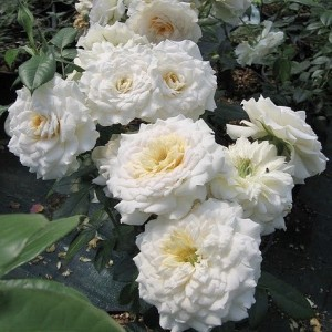 Саженец розы Надин Хелла Риччи