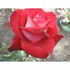 Саженец Розы Николь: фото и описание