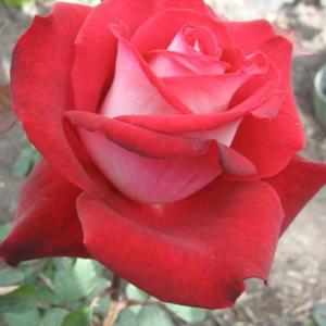 Саженец Розы Николь