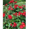 Саженец парковой розы Робуста