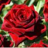 Саженец Розы Роял Баккара: фото и описание