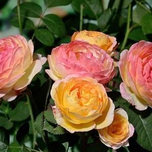 Саженец розы Розоман Жанон
