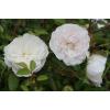 Саженец почвопокровной розы Свани  (Swany): фото и описание