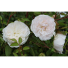 Саженец розы Свани (Swany): фото и описание