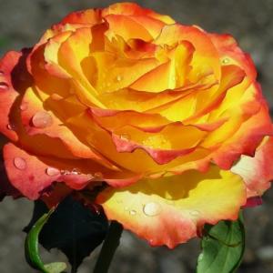 Саженец чайно-гибридной розы Текила Санрайз