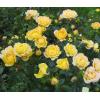 РозаYellow Fairy ( Еллоу Фейри): фото и описание
