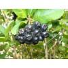 Саженец рябины черной (сеянец от 20 см.) : фото и описание
