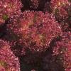 салат грантовый сад листовой арт. 5425