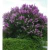 Саженец сирени Венгерской сеянец ( 10-15 см): фото и описание