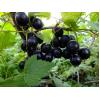 Саженец смородины Добрыня: фото и описание