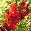 Саженец смородины Голландская красная: фото и описание