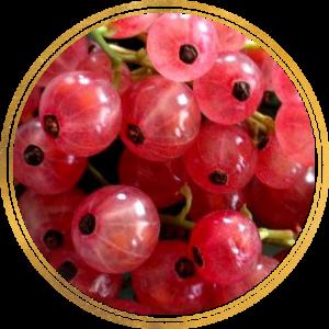 Саженец Смородины розовой Роза Чайр