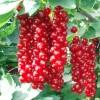 Саженец смородины Сахарная: фото и описание