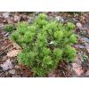 Саженец сосны горной сеянец ( 10-20 см): фото и описание