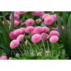 цветы маргаритка смесь окрасок арт. 5224