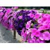 цветы петуния призма сливовая арт. 5229