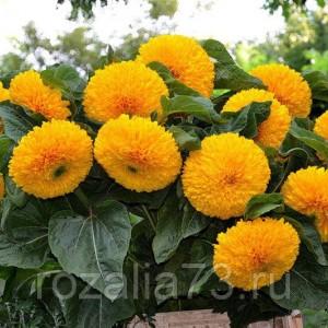 Цветы Подсолнечник Медвежонок Арт. 5230