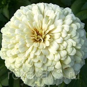 Цветы Цинния Полярный медведь Арт. 5237   Семена