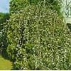 Саженец Вербы плакучей: фото и описание