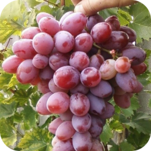 Саженец Винограда Атаман