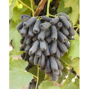 Саженец винограда Аватар