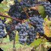 Саженец Винограда Муромец : фото и описание