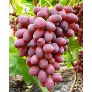 Саженец винограда Ризамат