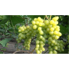 Саженец Винограда Цимус: фото и описание