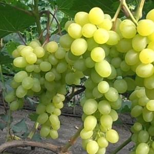 Саженец Винограда Цимус