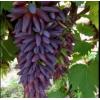 Саженец винограда Ведьмины Пальцы: фото и описание