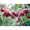 Саженец яблони колоновидной Тамара: фото и описание